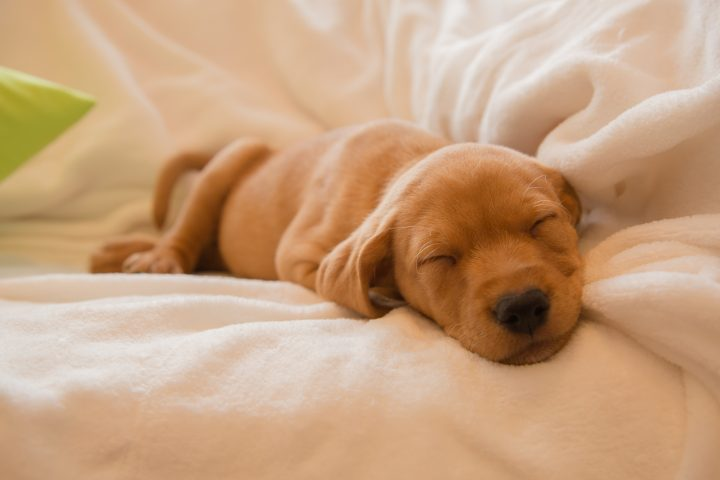 Two months old vizsla mix puppy sleeping on white sheets