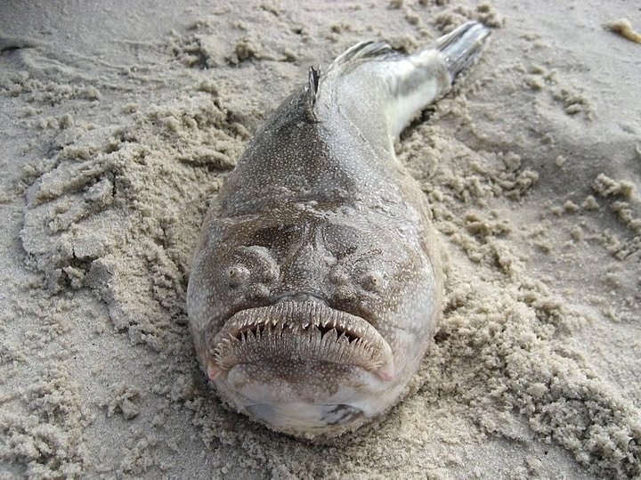 Northern stargazer fish bizarre animal