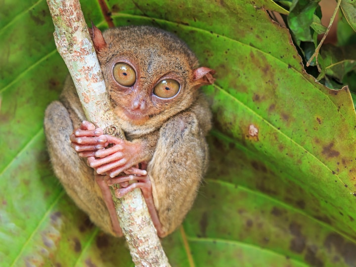 Philippines tarsier bizarre animal