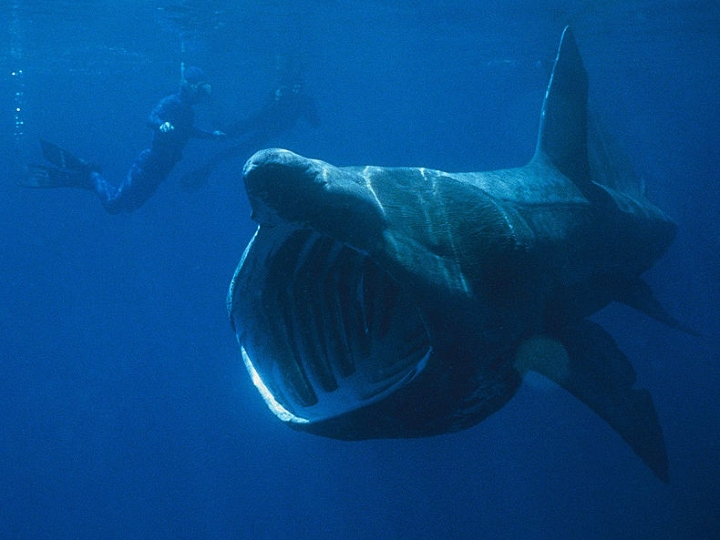 Basking shark, scary creature, filter feeder