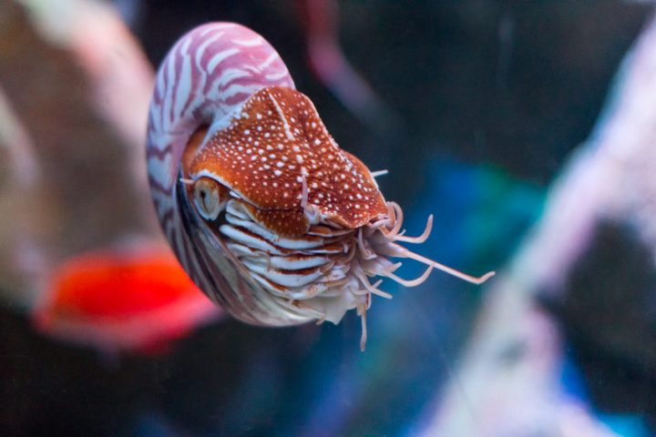 alive nautilus swimming