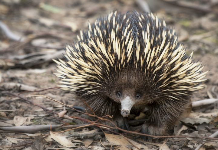 A primitive marsupial mammal known as an echidna searches the forest floor for termites and ants.