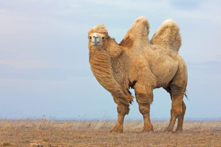 White bactrian camel in wild nature.