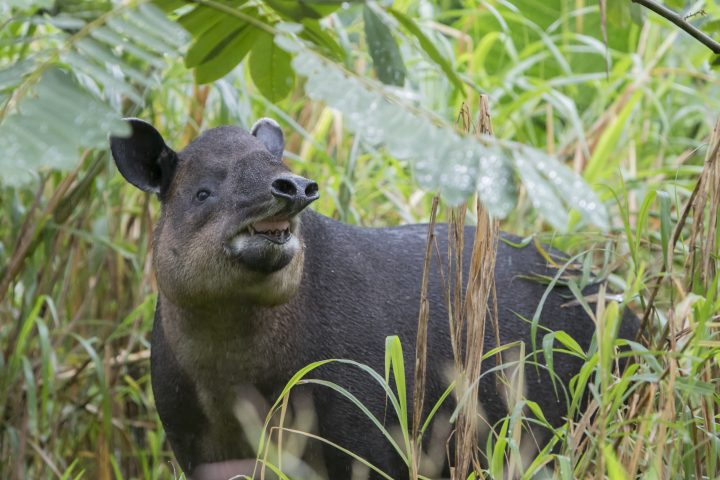 Wild Baird's Tapir (Tapirus bairdii) photographed In Northern Cloud Forest of Costa Rica.