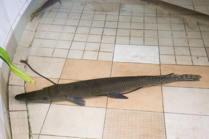 Alligator gar fish under water