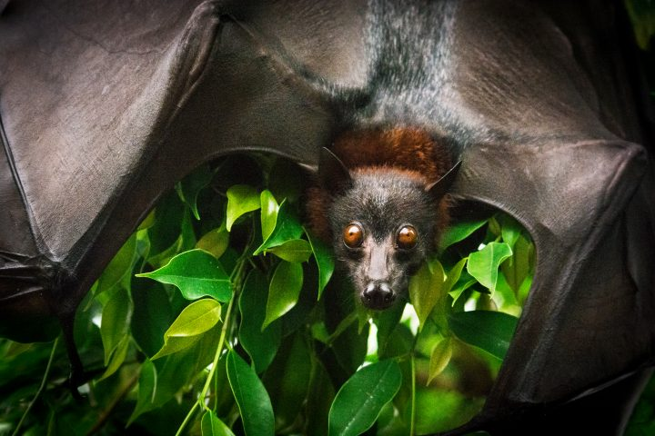 Portrait of Fruit bat (flying fox) with spread wings on the mango tree.