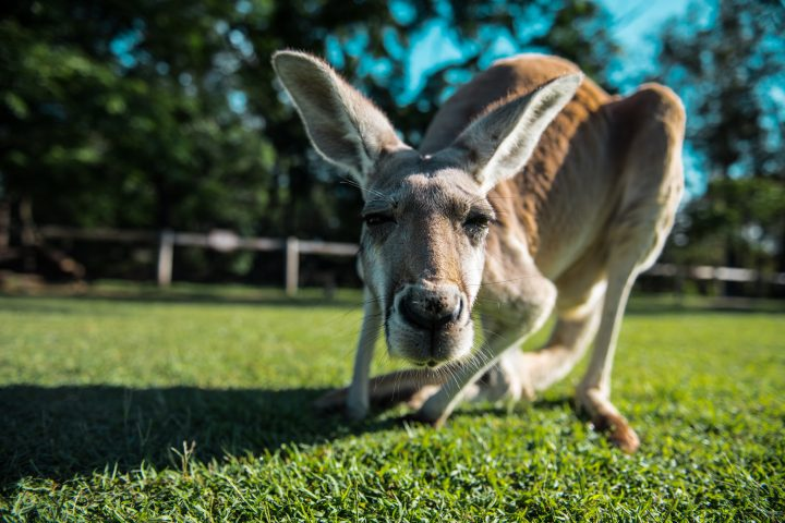 Curious kangaroo comes to see what is that machine that is on the floor making noises.