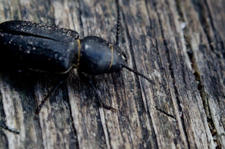 The Capricorn dark blue beetle on wooden surface.This type of beetle is a serious threat to wood.
