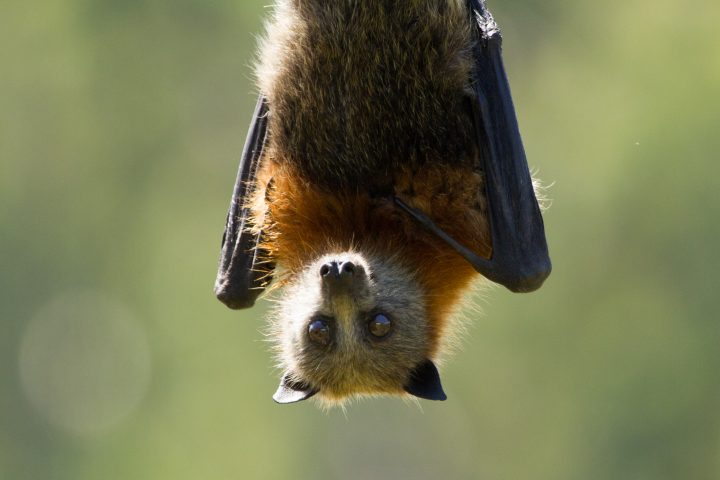 Close up image of a fruit bat or grey headed flying fox. It is hanging upside down and looking at camera.