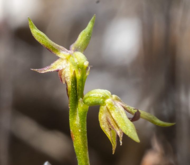 A small delicate Australian native orchid