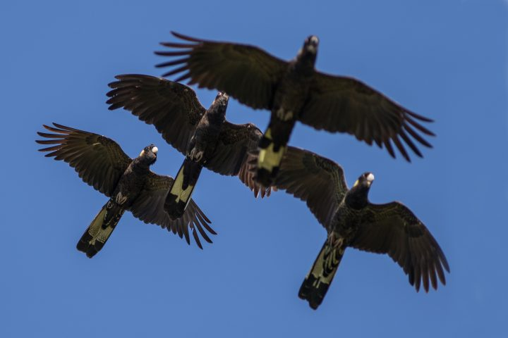 Yellow-tailed Black Cockatoo flock in flight