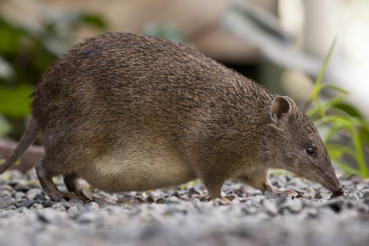 A Southern Brown Bandicoot female with a full pouch and mouth open.