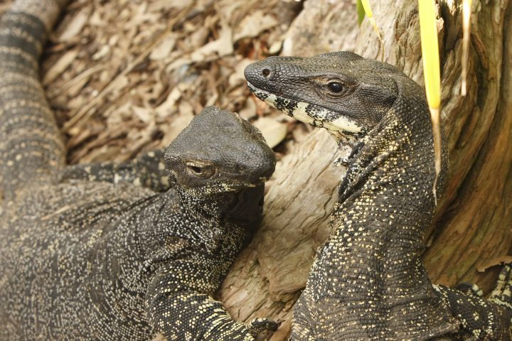 Close up view of two goannas. Part of the monitor lizard family. Australia.