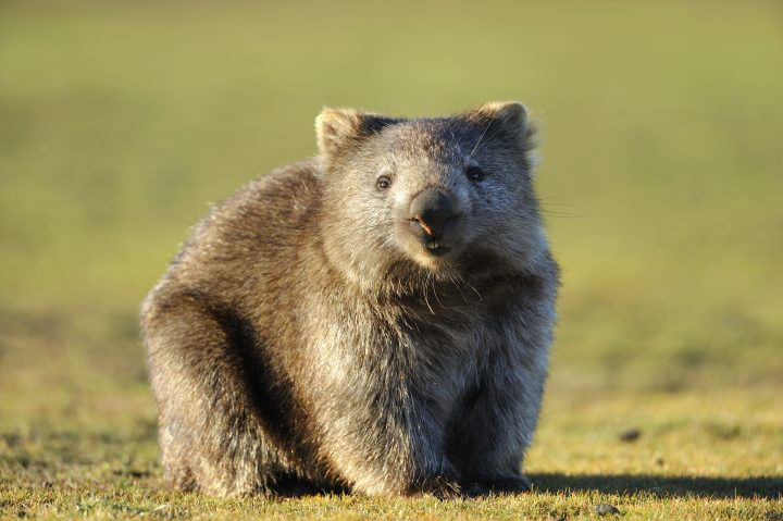 """Wombat at Narawntapu National Park, Tasmania, AustraliaRelated images:"""