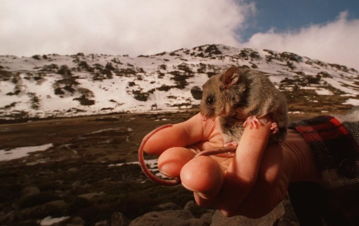 (AUSTRALIA OUT) A Mountain Pygmy Possum at Charlotte Pass, Kosciusko National Park, sits in the hand of Dr. Gerhard Koertner, a Researcher at the New England University, 22 September 1995. SMH Picture by RICK STEVENS (Photo by Fairfax Media via Getty Images/Fairfax Media via Getty Images via Getty Images)