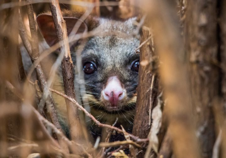 Telephoto shot of a baby brushtail possum in its drey.
