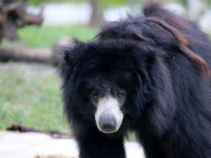 Bear, Asian black bear, black bear