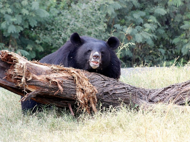 Asian black bear, bear on log, large bear