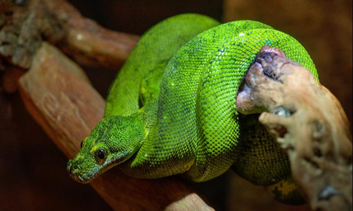 Boomslang snake wrapped around branch