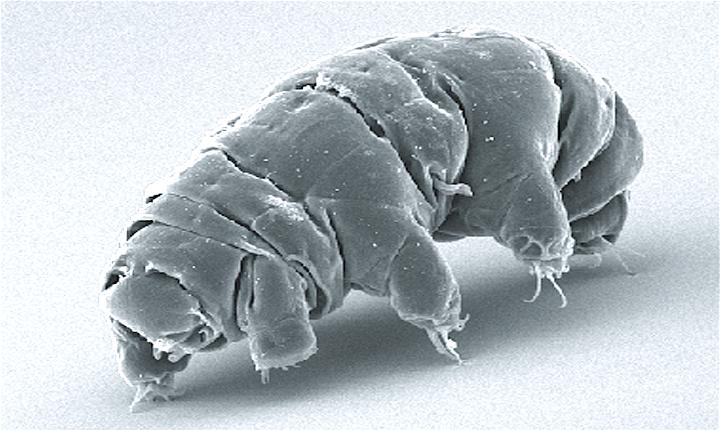Tardigrade (Water Bears)