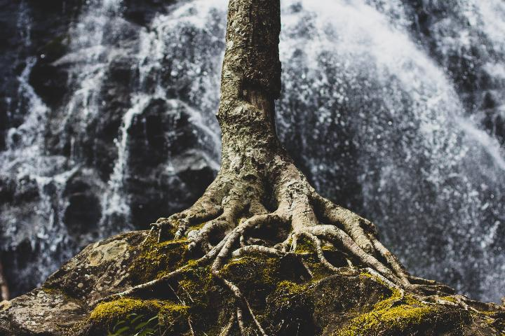 Tree with Roots and Moss
