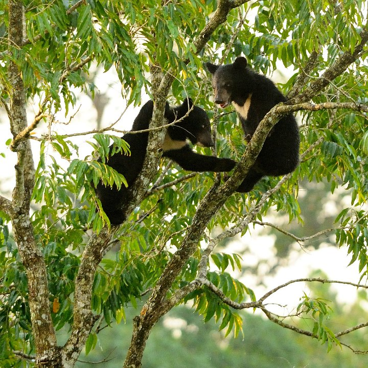 climbing cubs, bear cubs, black bear cubs in a tree