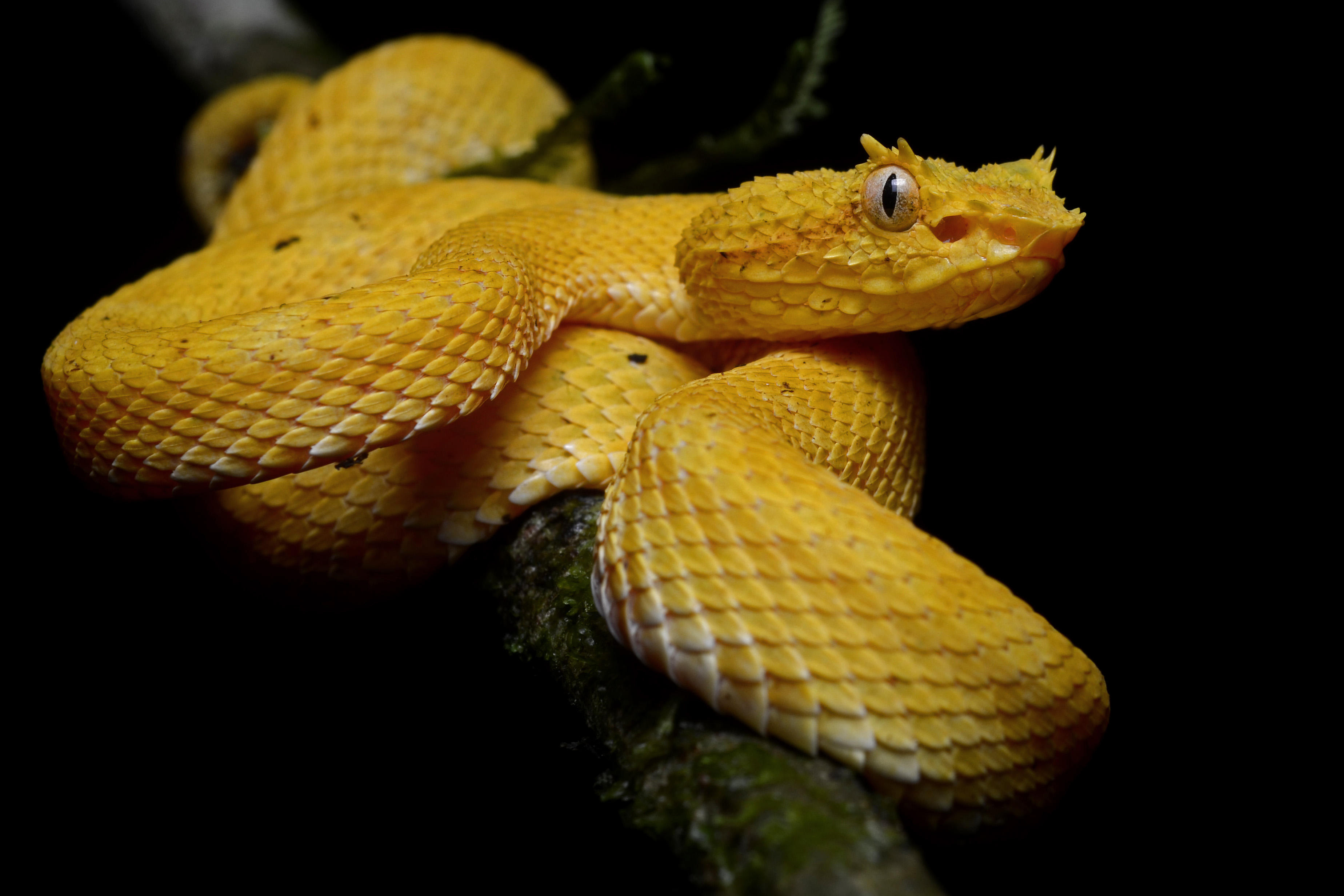 Scariest animals that only come out at night, the Eyelash Viper
