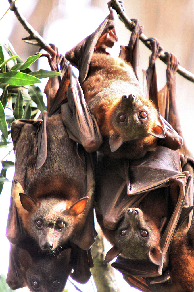 Little Red Flying Fox, animals that only come out at night and are scary