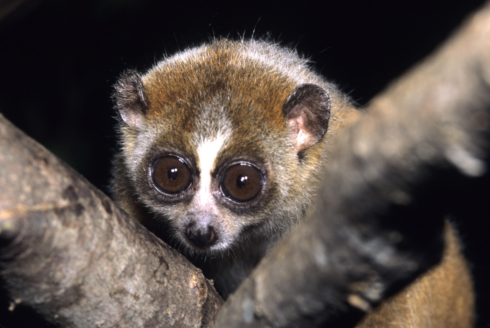 Bizarre creatures that only come that at night, pygmy slow loris