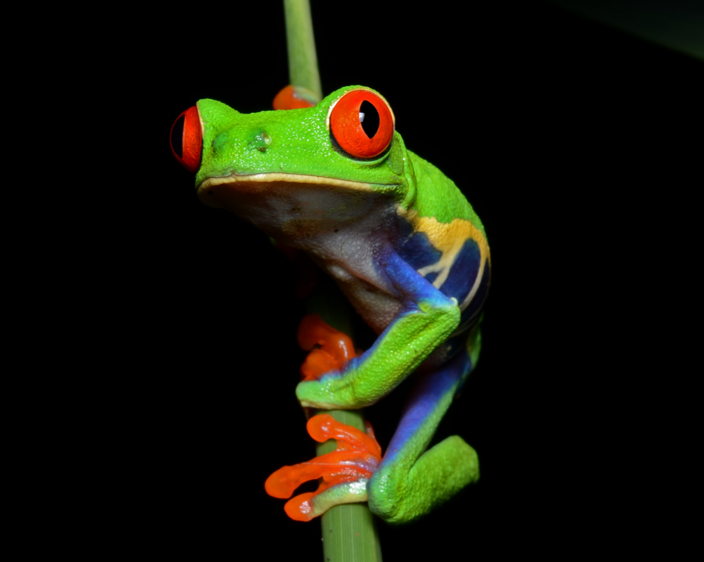 Bizarre critters that only come out at night, Red-eyed tree frog