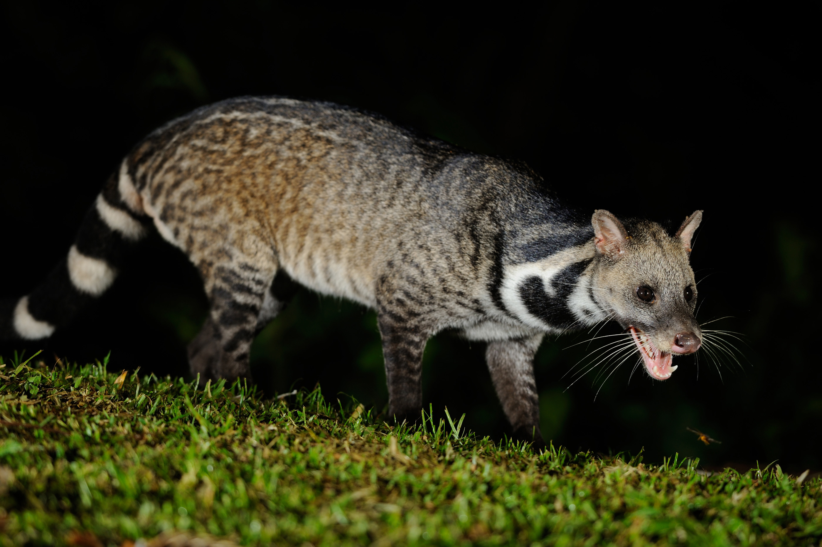 Scariest animals that only come out at night, Civet