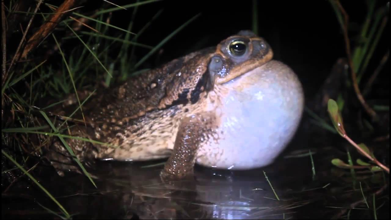 Bizarre critters that only come out at night, rococo Toad