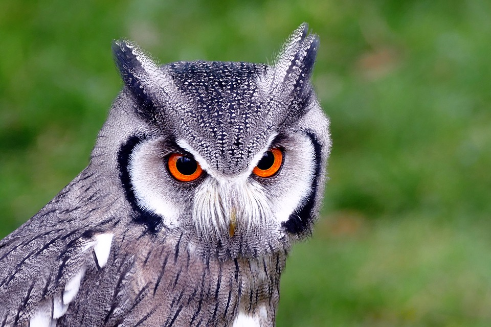 Southern White-faced owl, nocturnal animals that are scary