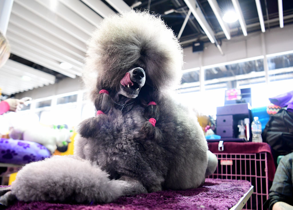 A Standard Poodle sits backstage at the Westminster Kennel Club Show