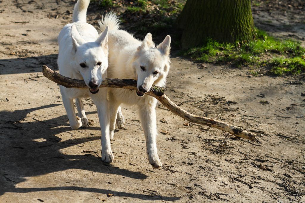 Two white Canaan dogs walk while holding a stick in their mouths