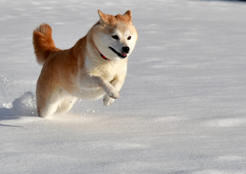Shiba inu dog leaping in the snow