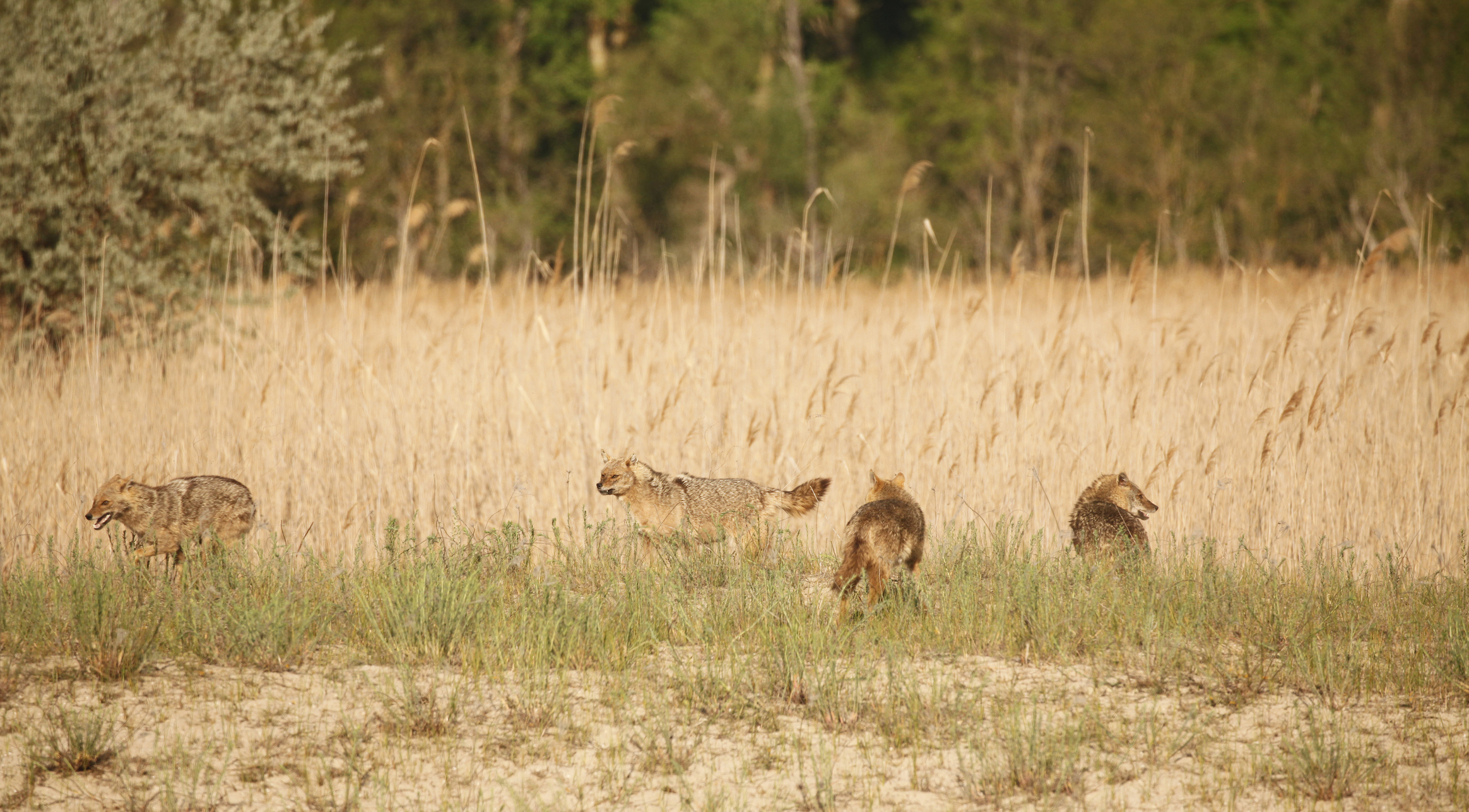Mother wild Golden Jackal, Canis aureus, with three well-grown cubs in early morning, Danube Delta Biosphere Reserve, eastern Romania