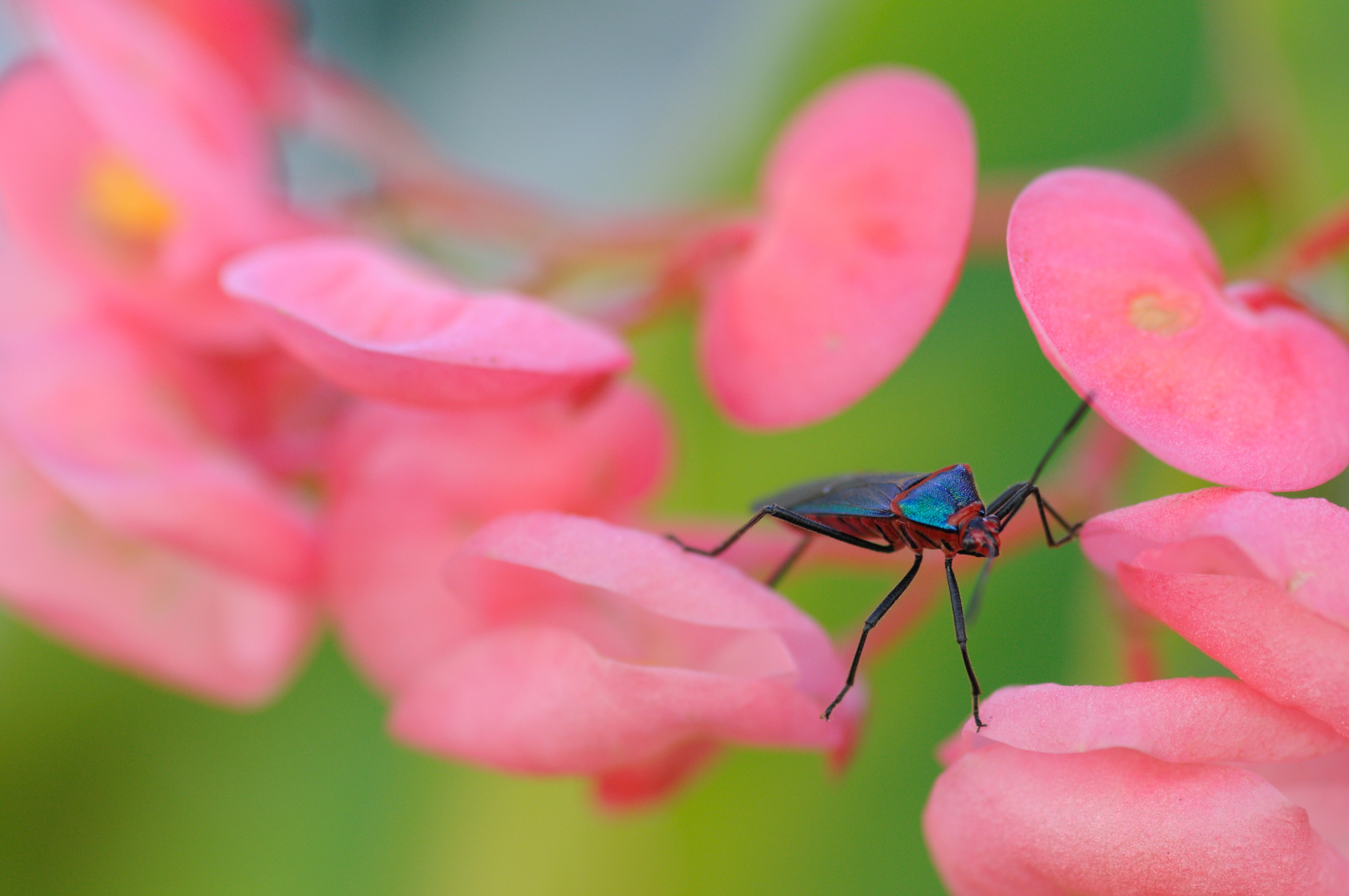 A colorful triatomid bug (also known as assassin bug or kissing bug) on pink begonia flowers. Taken in São Paulo, Brazil.