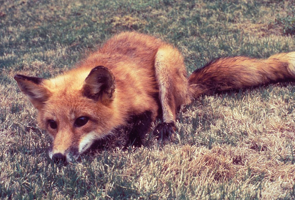 Foxes may be possible vectors of the rabies virus, transmitting it to humans and other animals, 1994. Wild animals accounted for 93% of reported animal cases of rabies in the year 2000, with foxes comprising 6.1% of this figure. Image courtesy CDC.