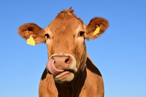 close up of a cow licking its nose